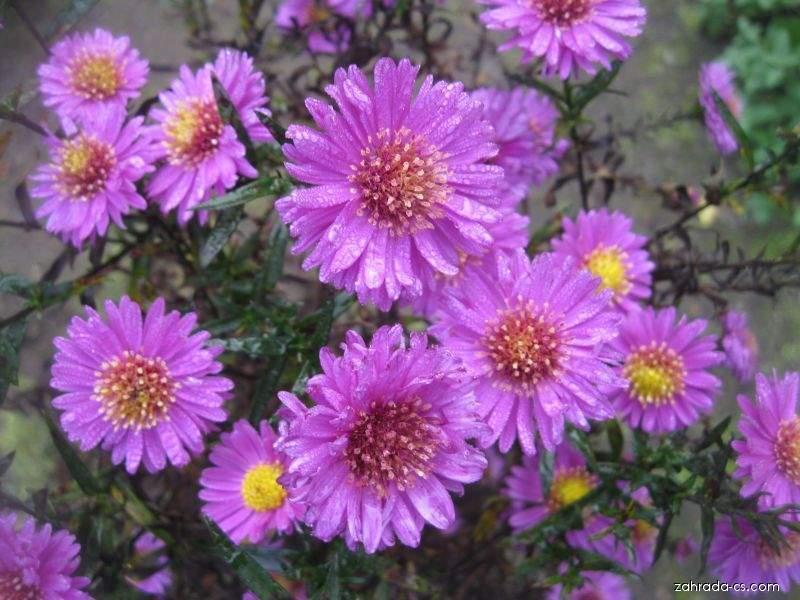 Hvězdnice novoanglická - Symphyotrichum novae-angliae Kate Bloomfield