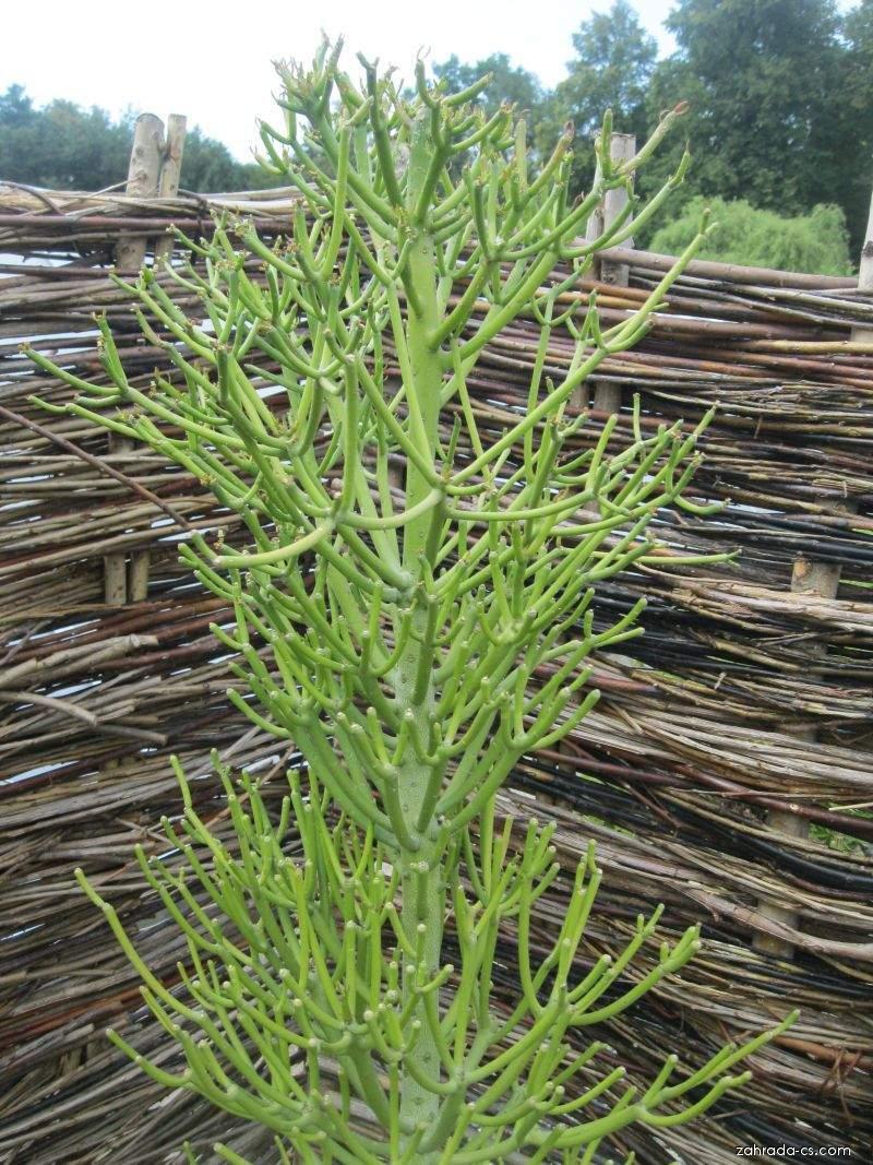 Pryšec (Euphorbia tirucalli)