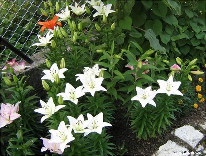 Lilie - Lilium x hybridum Anne