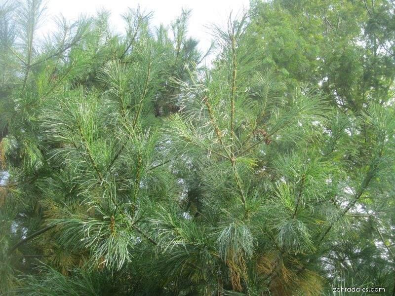 Borovice Armandova (Pinus armandii)