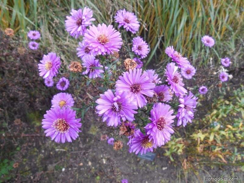 Hvězdnice novobelgická - Symphyotrichum novi-belgii Melbourne Bell