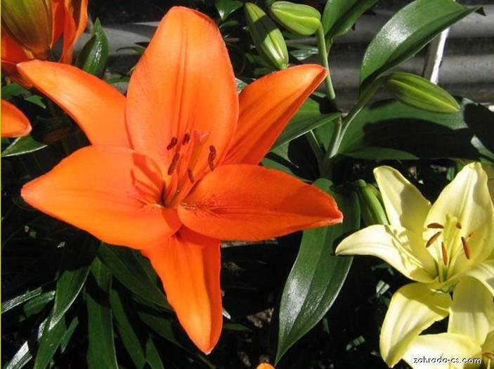 Lilie - Lilium x hybridum Beatrix