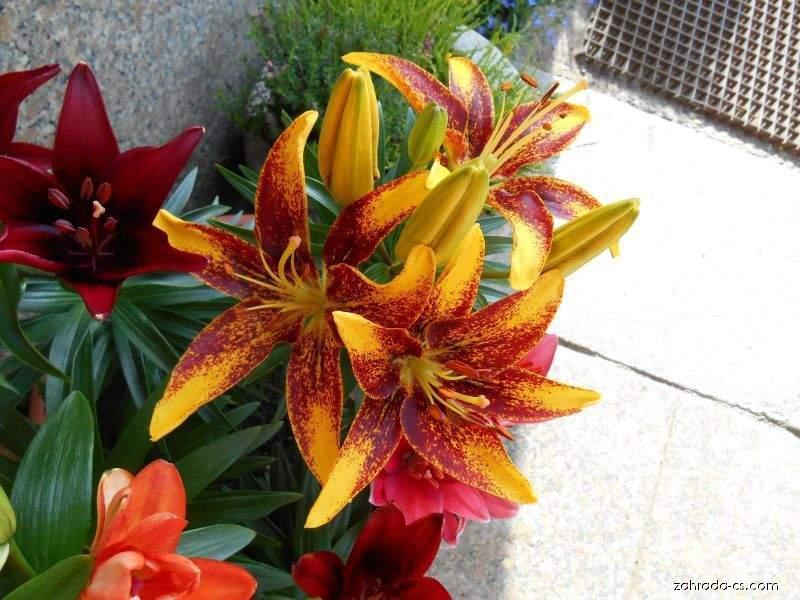 Lilie Tiny Sensation - Asijský nízký hybrid (Lilium x hybridum)
