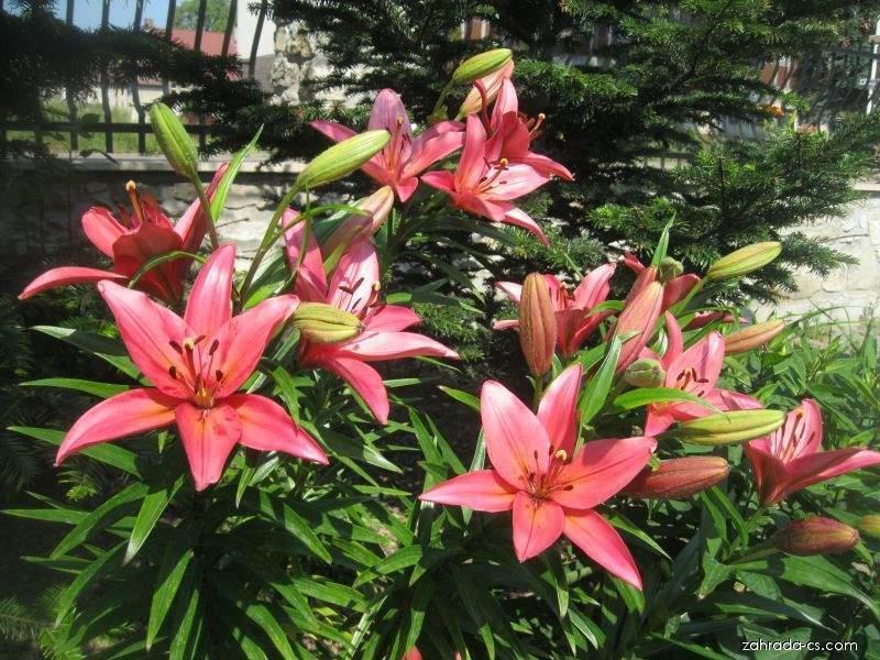 Lilie Dani Arifin - LA hybridy (Lilium x hybridum)