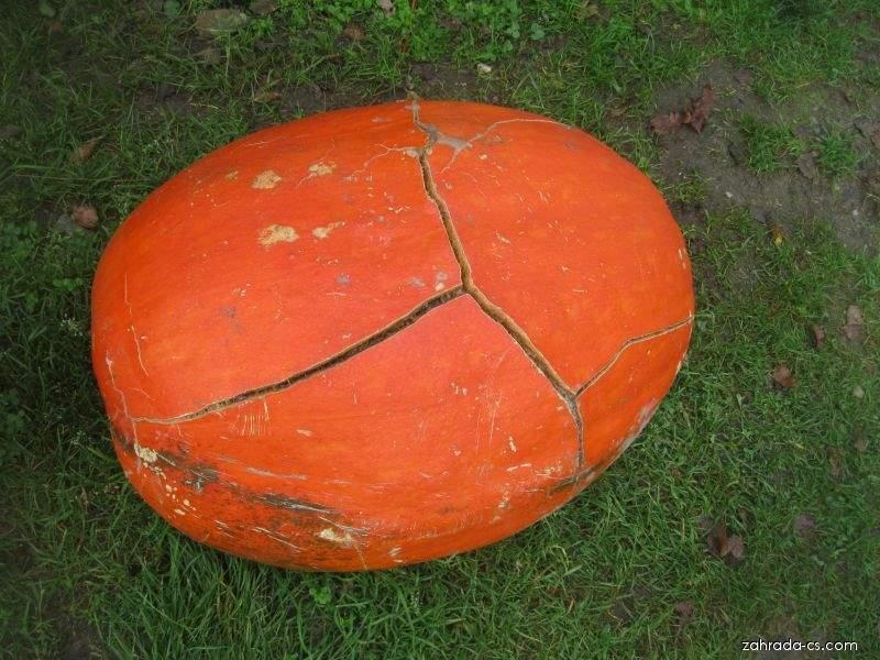 Tykev velkoplodá Goliáš (Cucurbita maxima)