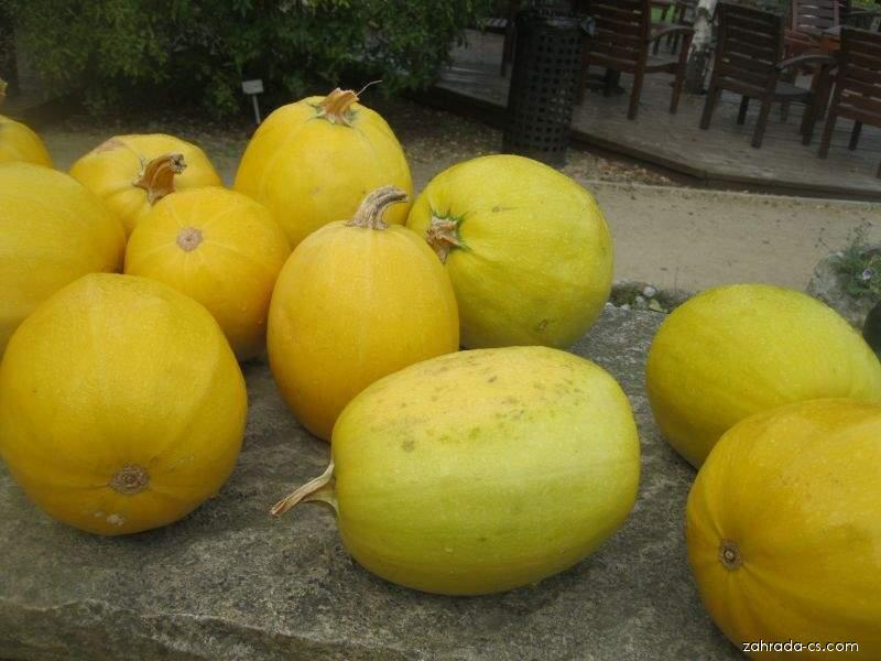 Tykev obecná Vegetable Sphaghetti (Cucurbita pepo convar giromonticina)