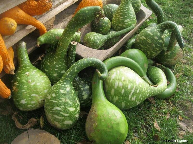 Tykev lahvovitá (Lagenaria siceraria)