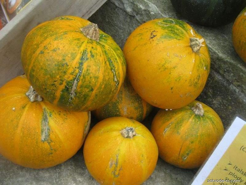 Tykev obecná Tondo di Piacenza (Cucurbita pepo var cyliandrica)
