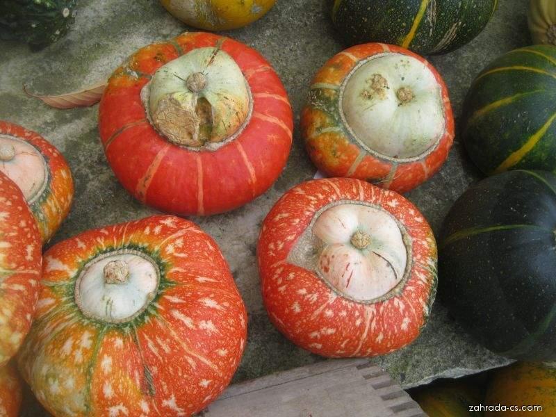 Tykev velkoplodá Mini turban (Cucurbita maxima)