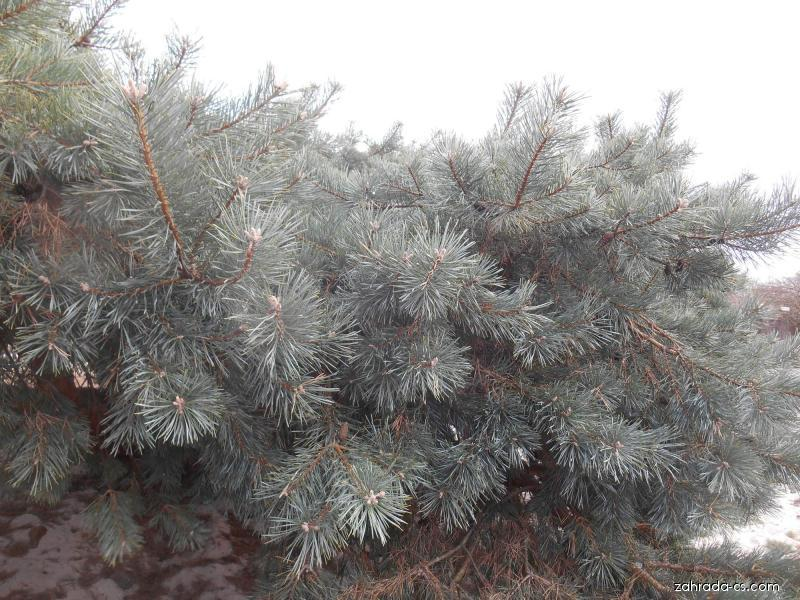 Borovice lesní - Pinus sylvestris Hillside Creper
