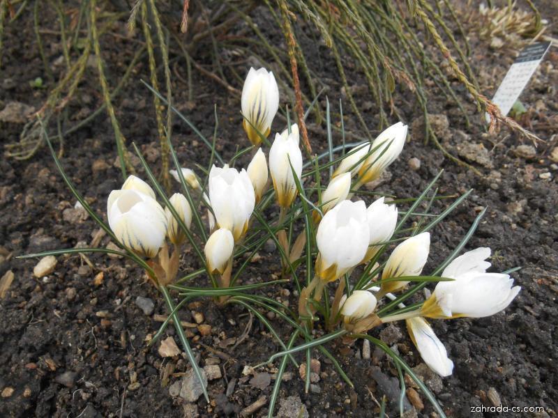 Šafrán zlatý - Crocus chrysanthus Snow Bunting