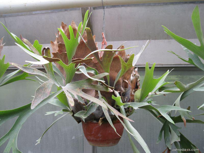 Parožnatka (Platycerium)