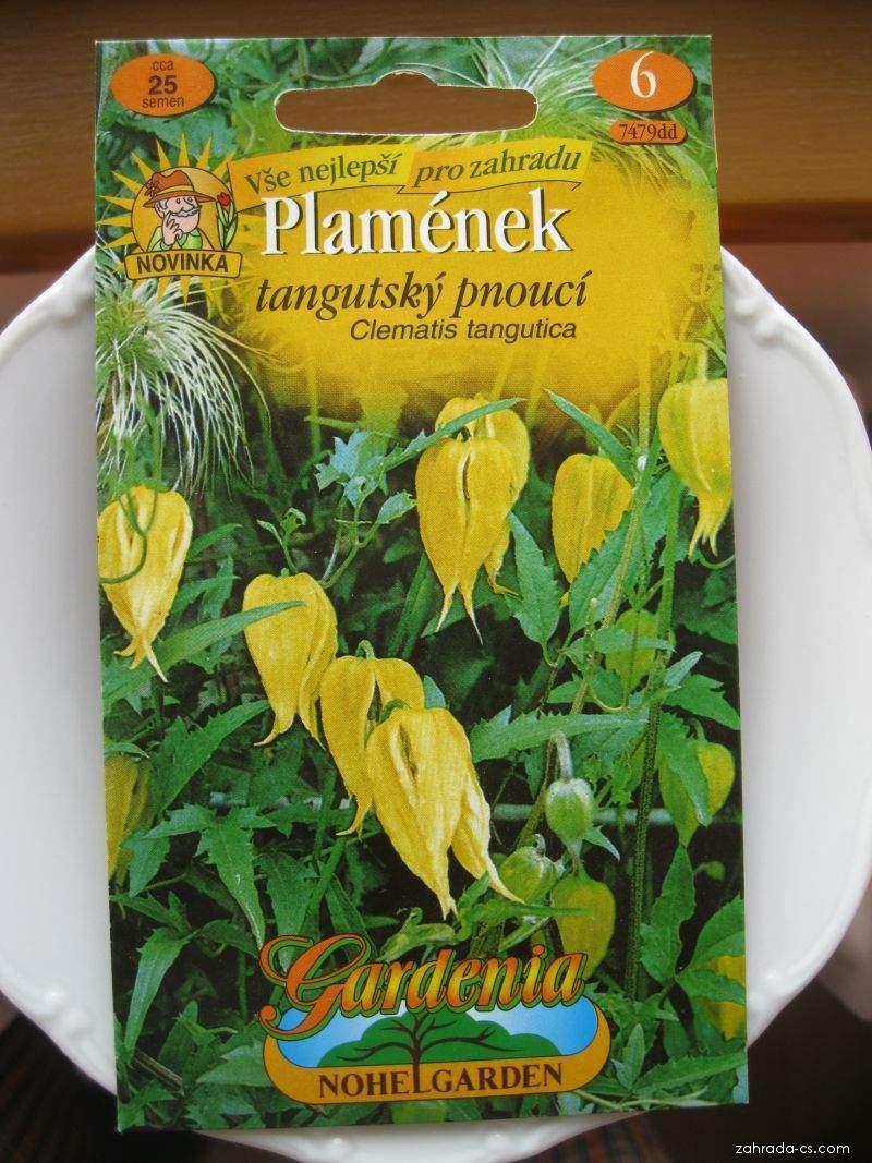 Plamének tangutský (Clematis tangutica)