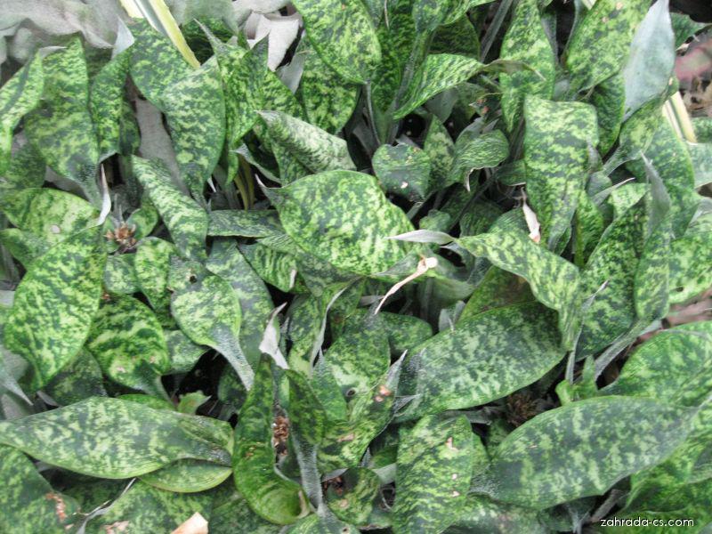 Kryptantus (Cryptanthus beuckeri)