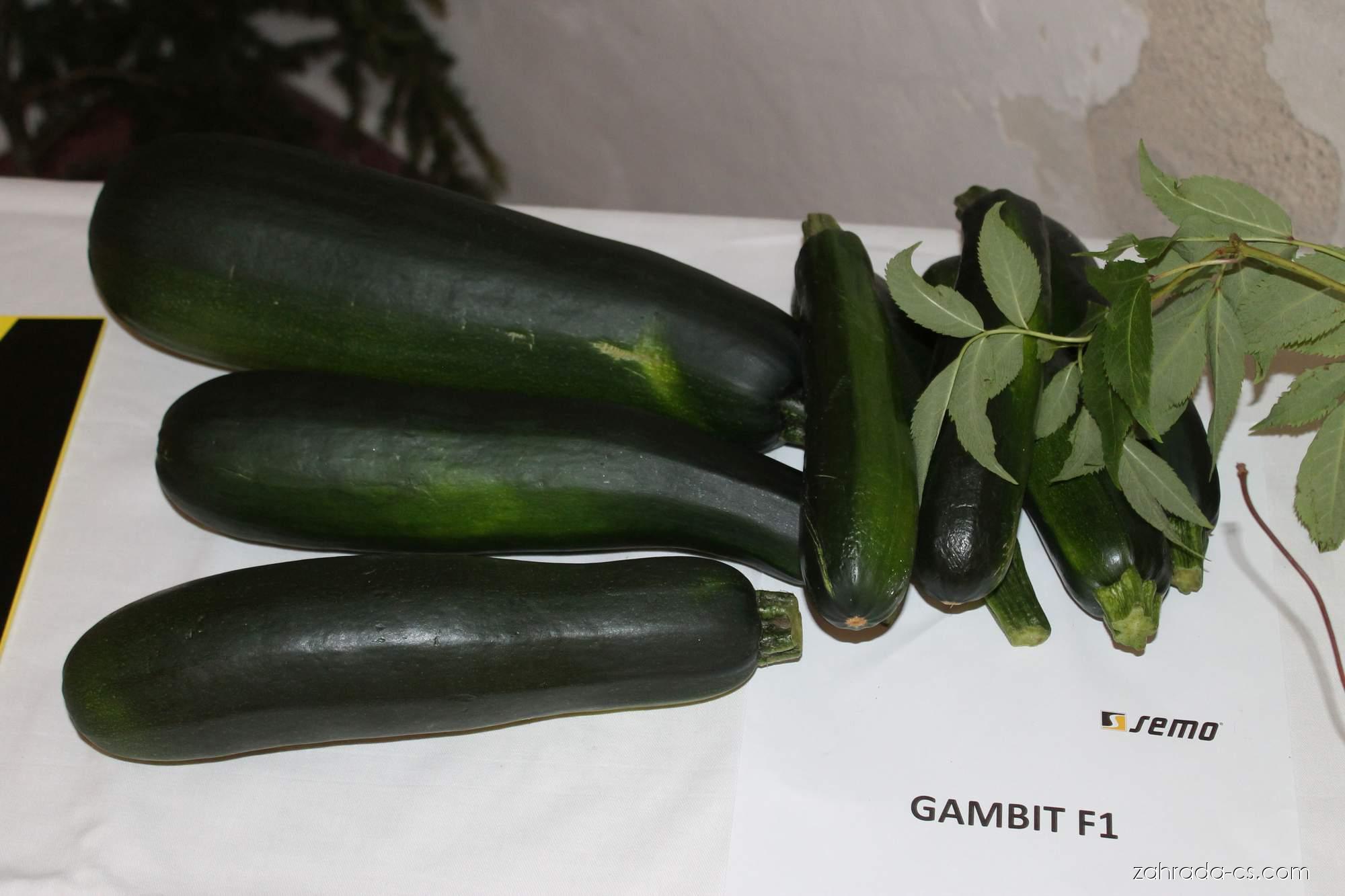 Tykev obecná - cuketa Gambit (Cucurbita pepo)