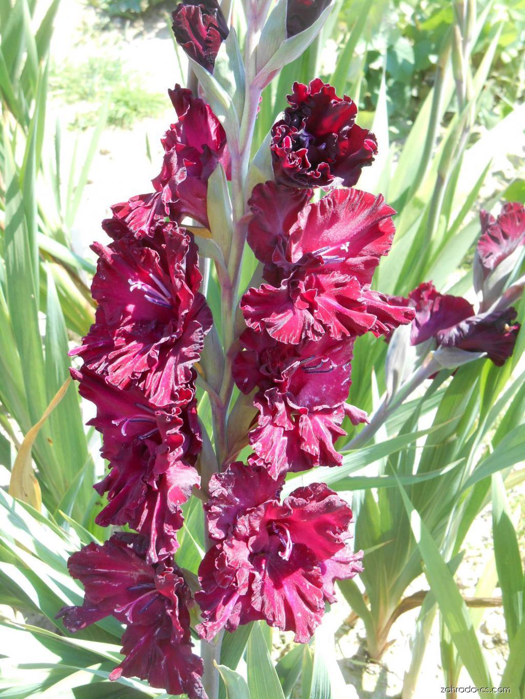 Mečík - Gladiolus Black Sabath