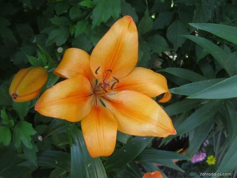 Lilie Puma - LA hybridy (Lilium x hybridum)