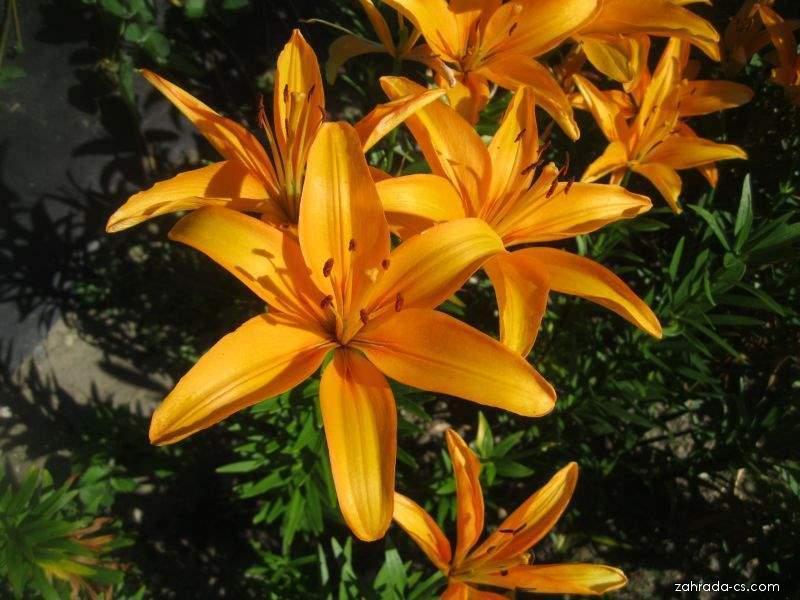Lilie - Lilium x hybridum Márinka