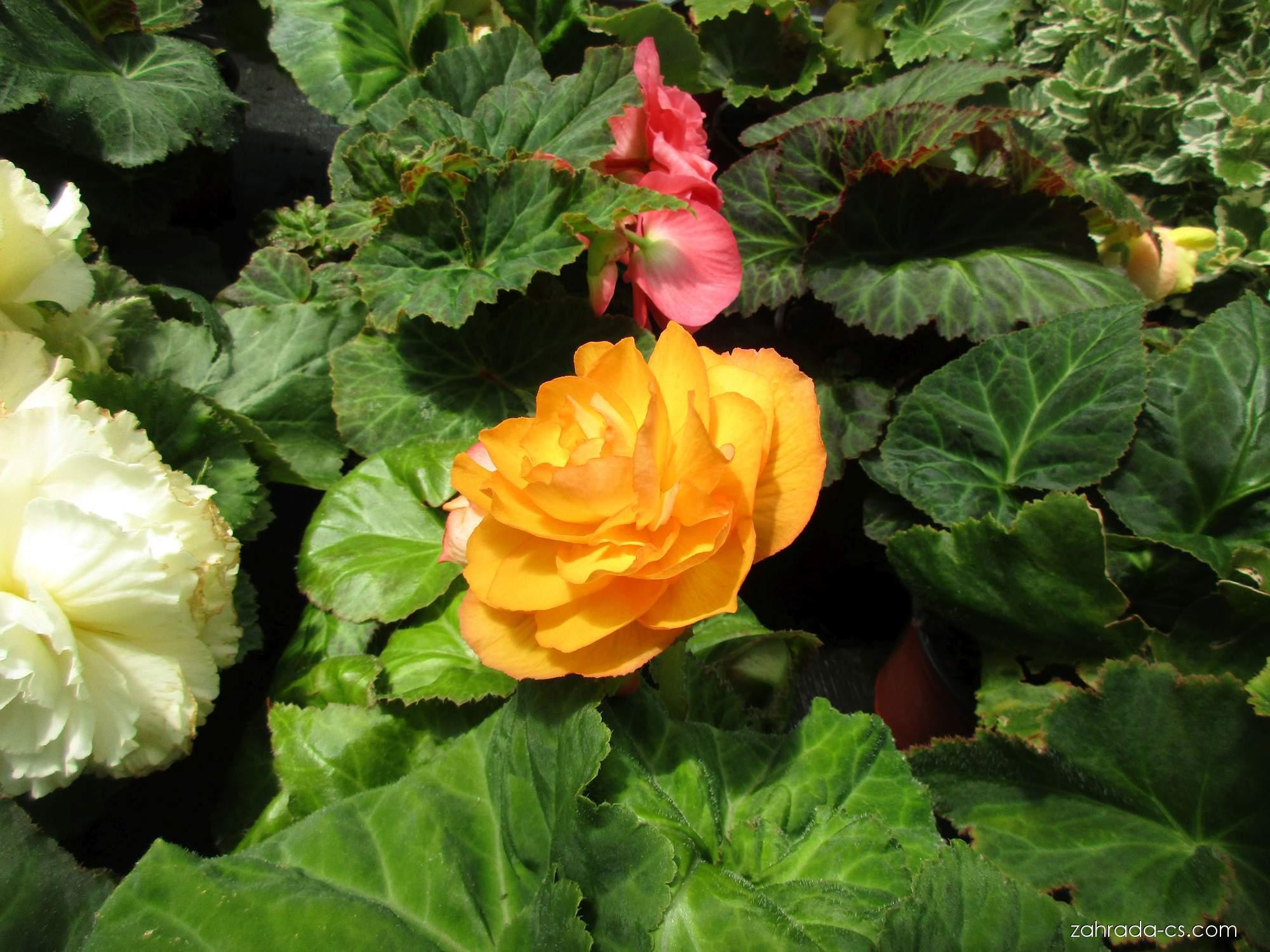 Begonie hlíznatá (Begonia tuberhybrida)
