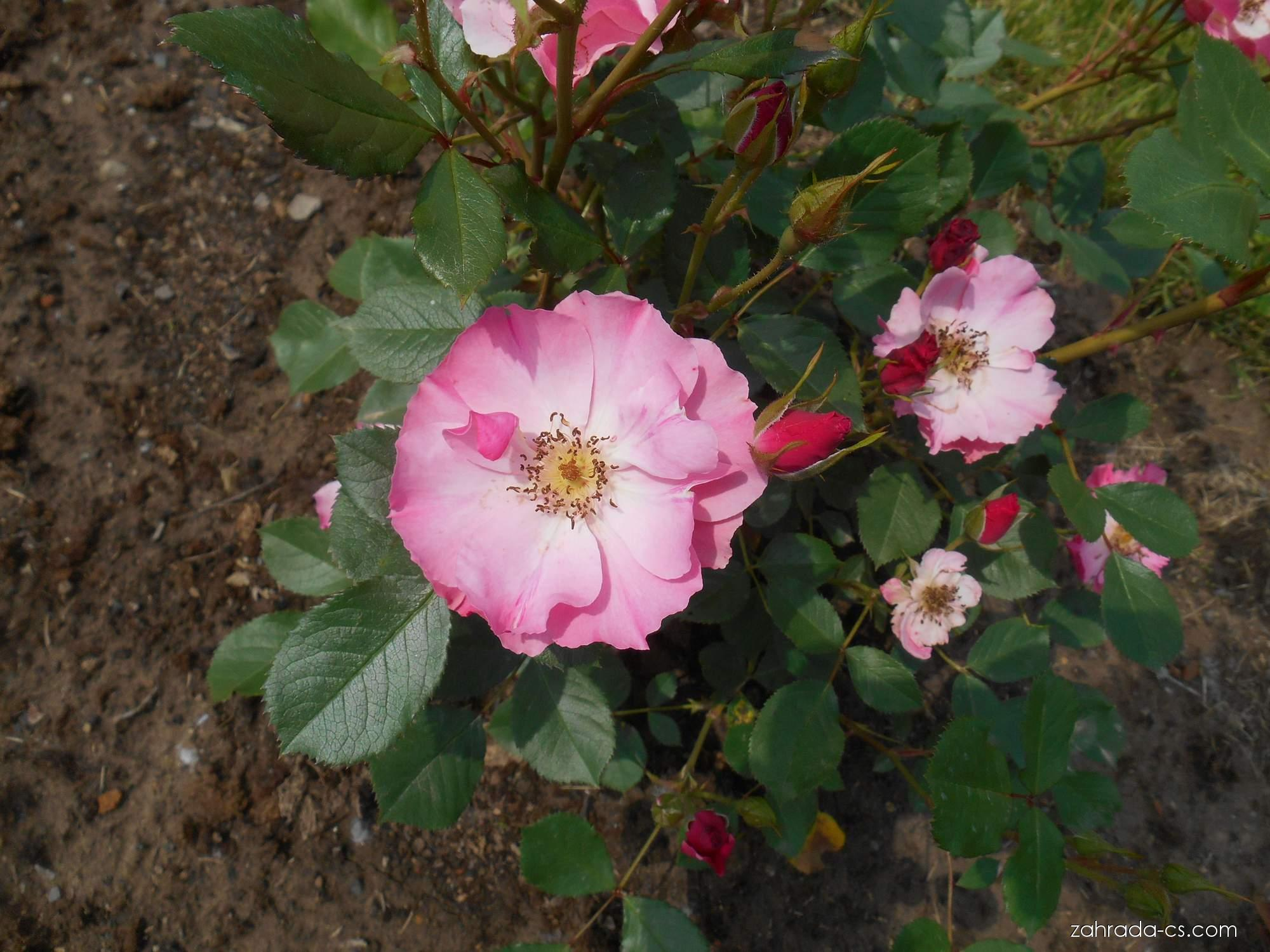 Růže - Rosa Rudolf Timm