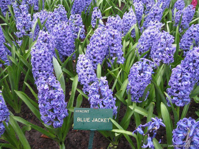 Hyacint východní - Hyacinthus orientalis Blue Jacket
