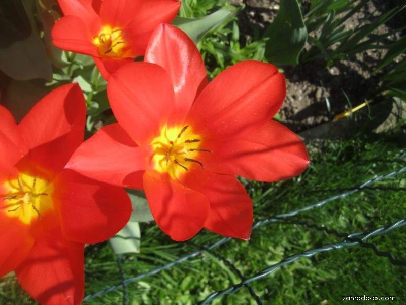 Tulipán Shakespeare - Kaufmanniana hybridy (Tulipa kaufmanniana)