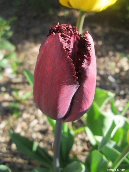 Tulipán - Tulipa Curly Sue