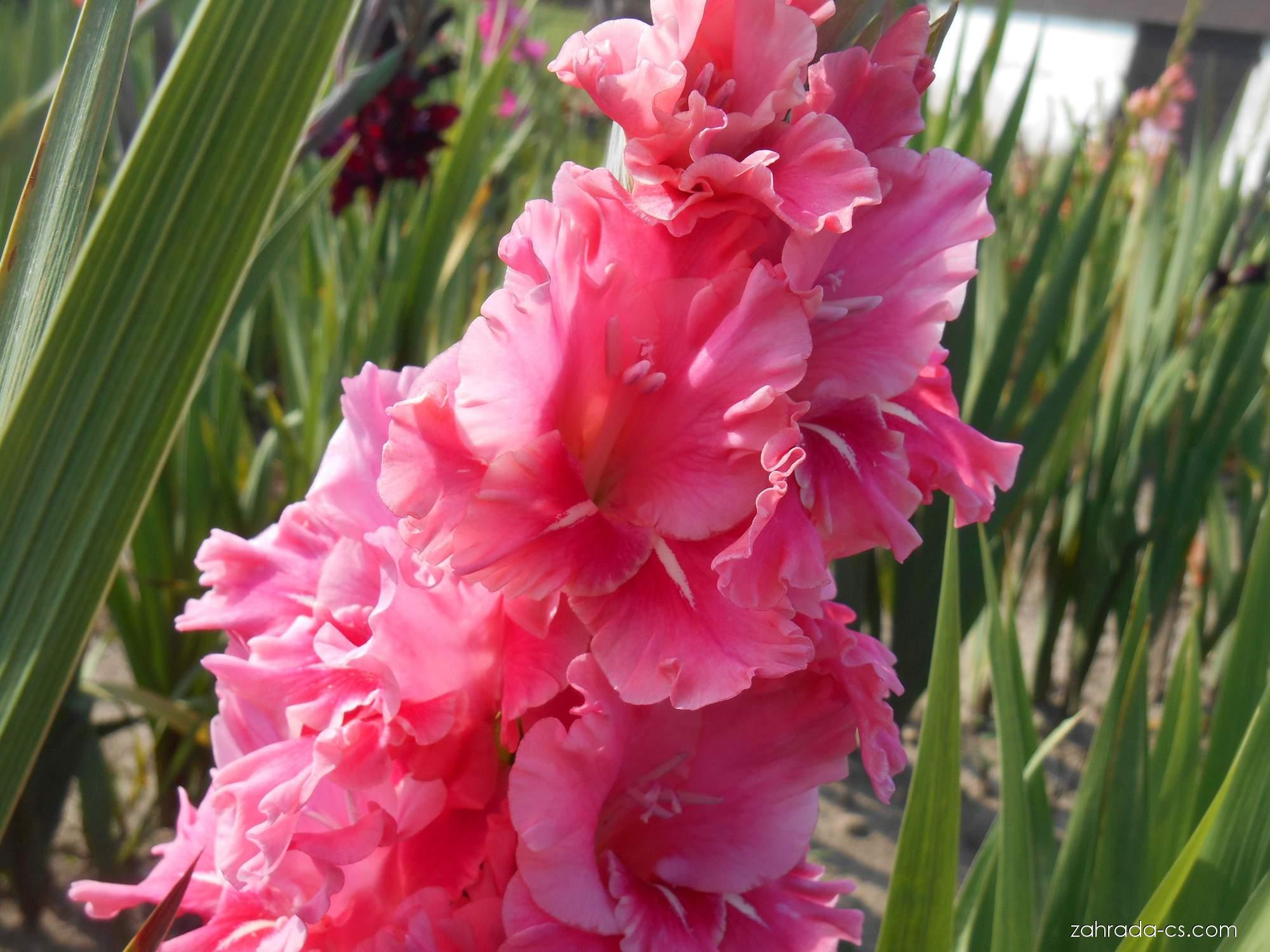 Mečík - Gladiolus Fatima