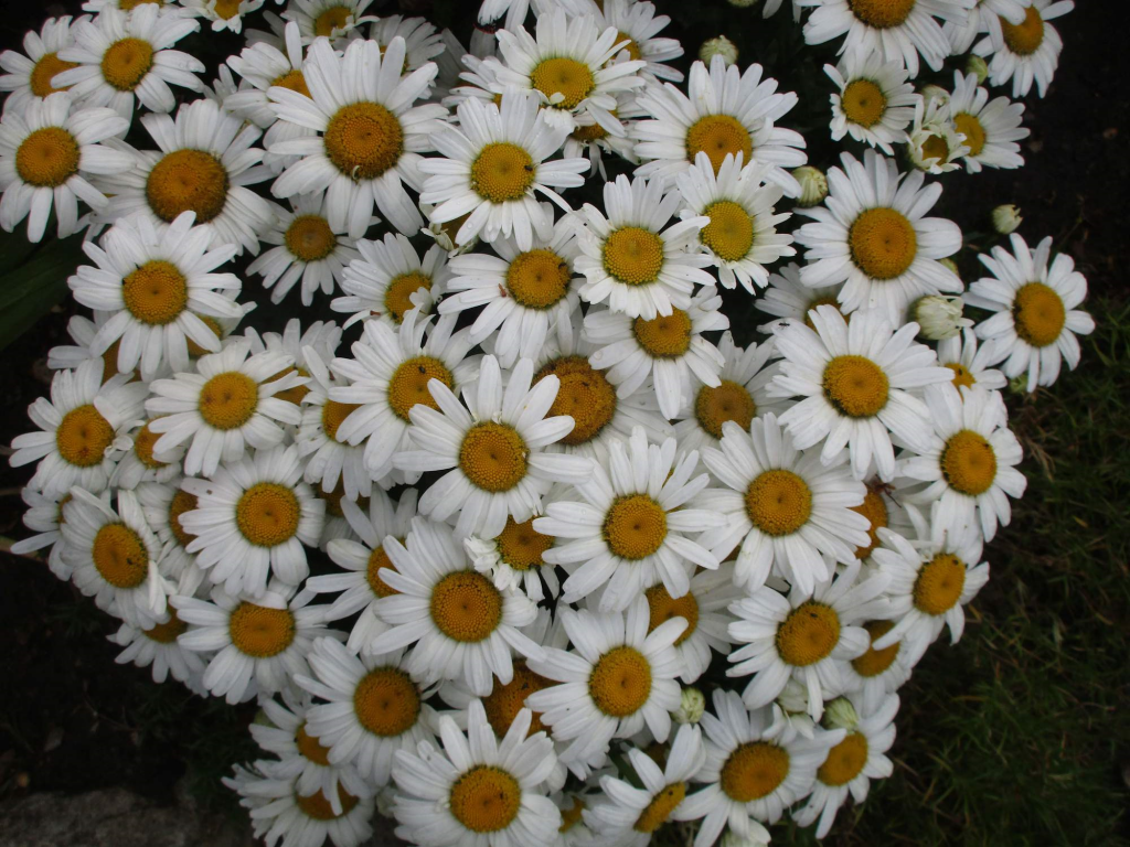 Kopretina velkokvětá - Leucanthemum maximum Snow Lady