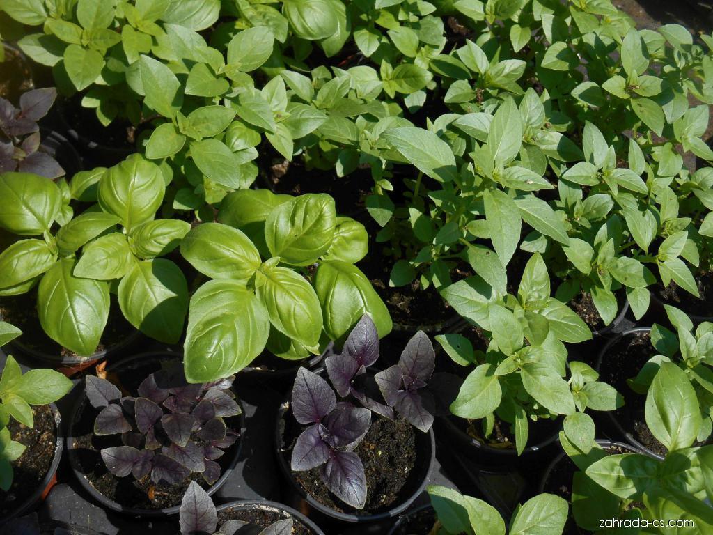 Bazalka pravá (Ocimum basilicum)