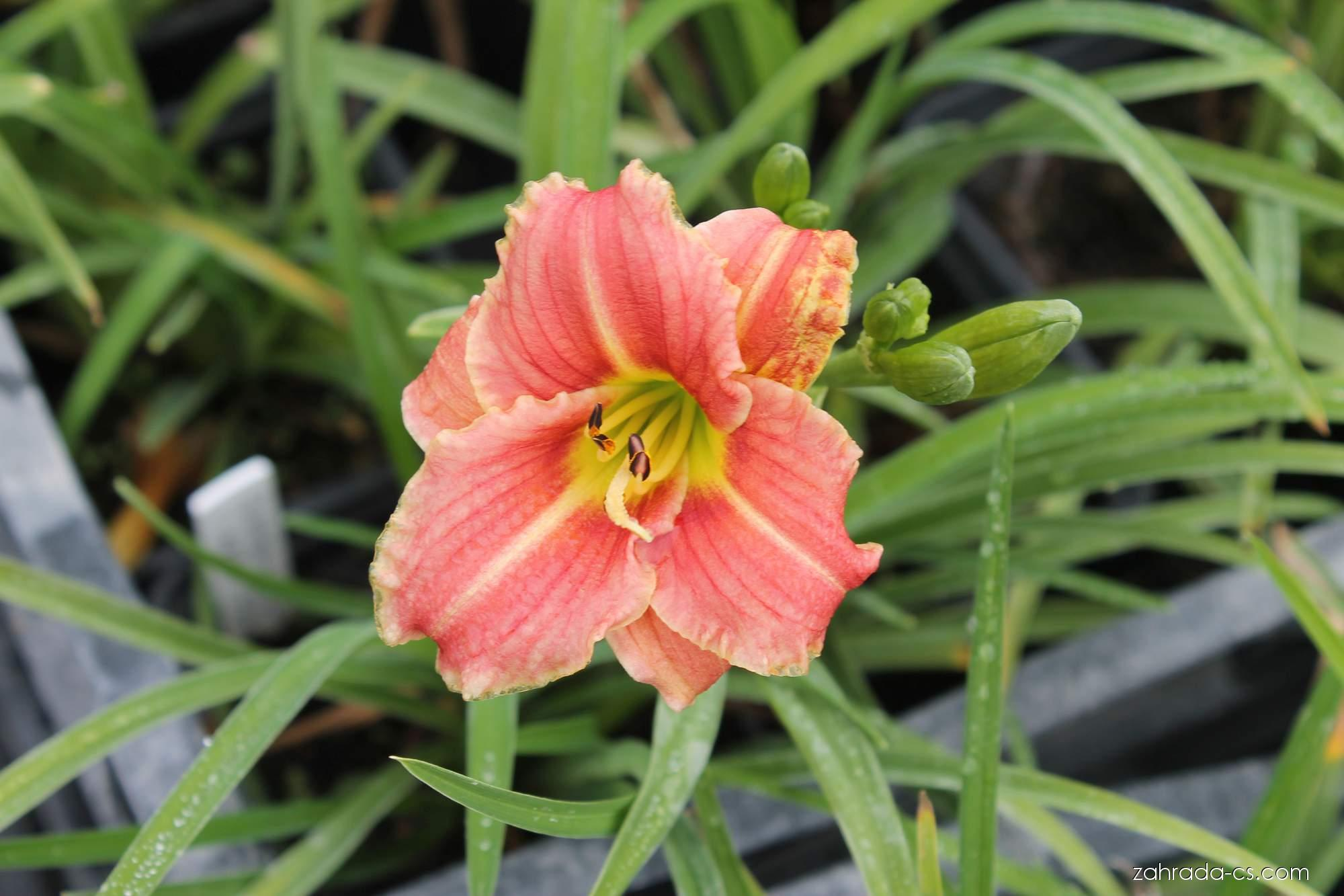 Denivka - Hemerocallis Little Anna Rosa