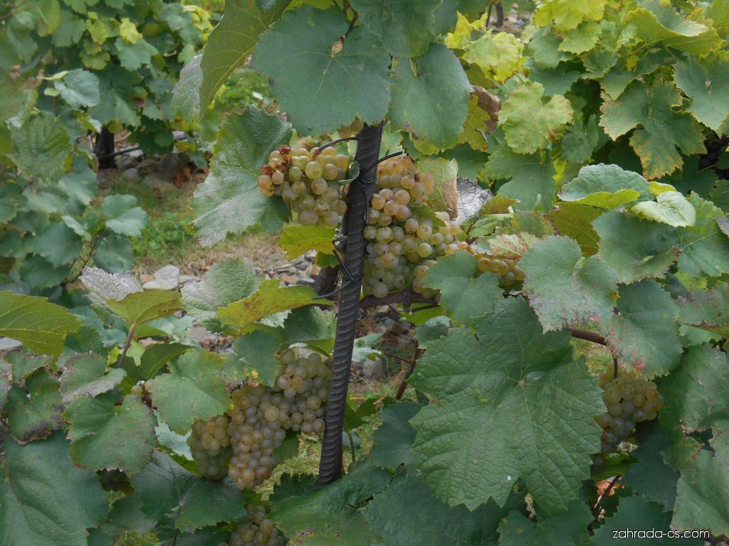 Réva vinná Afus Ali (Vitis vinifera)