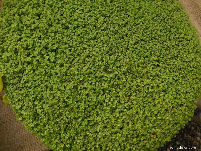 Domácí štěstí (Helxine soleirolii)