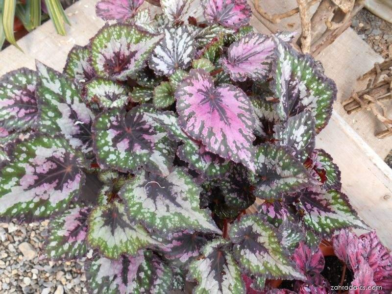 Begónie královská (Begonia rex)