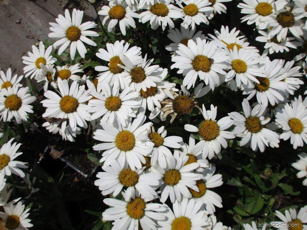 Kopretina Lagrande (Leucanthemum x superbum)
