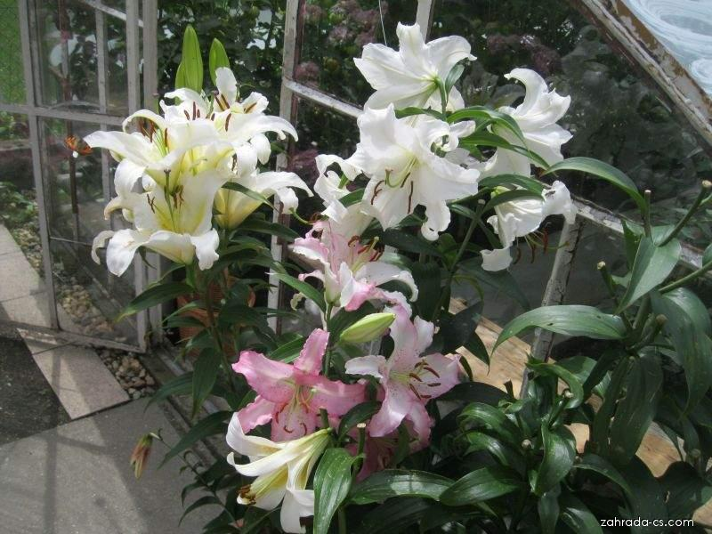 Orientální hybridy (Lilium x hybridum)