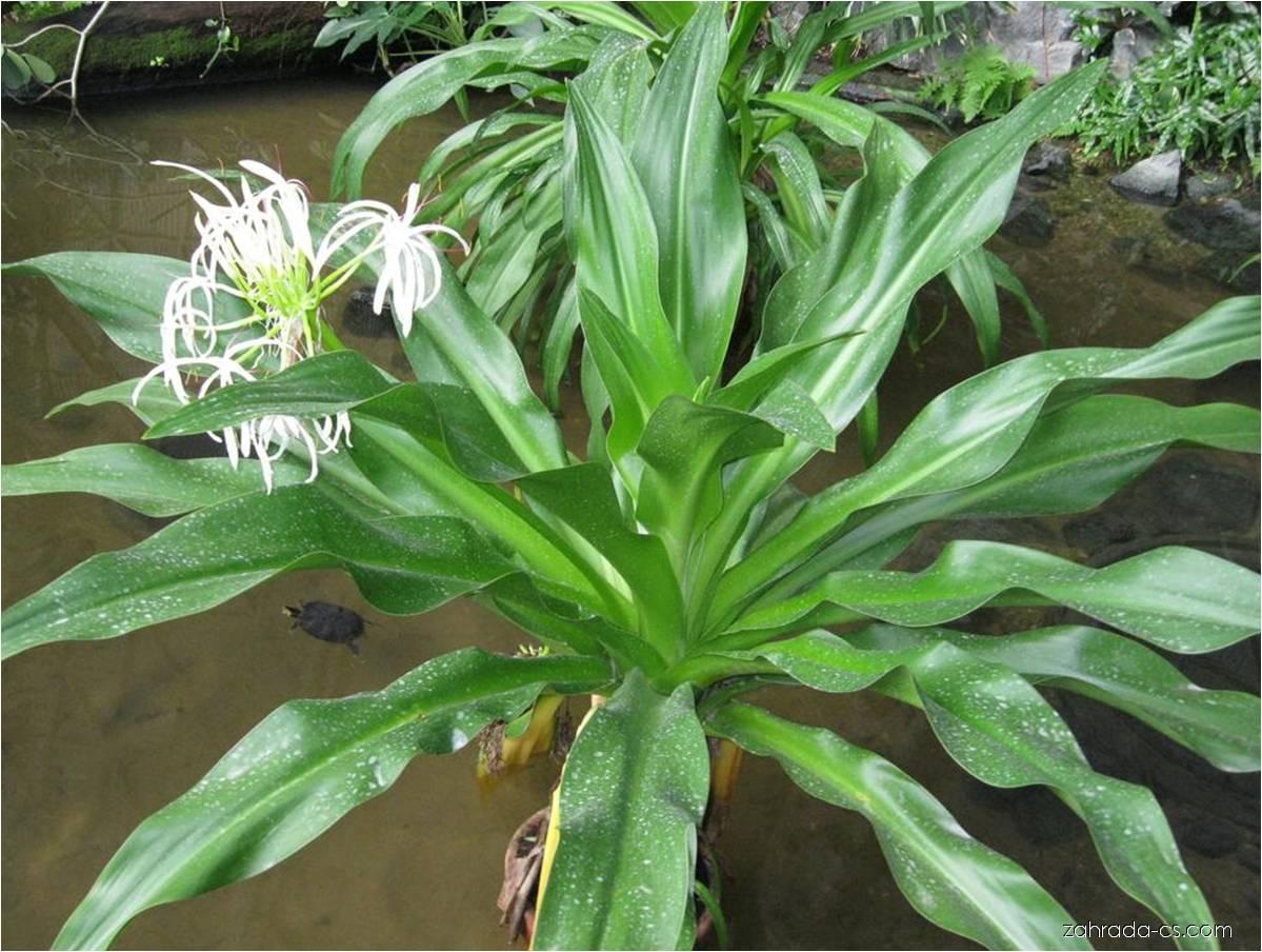 Křín asijský (Crinum asiaticum)