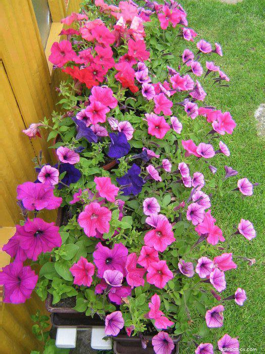 Petúnie - Petunia x hybrida