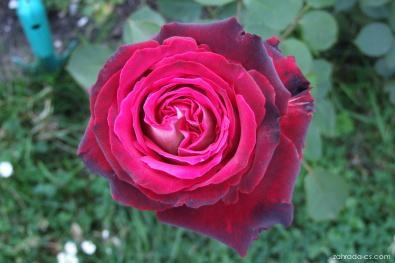 Růže - Rosa Osiria