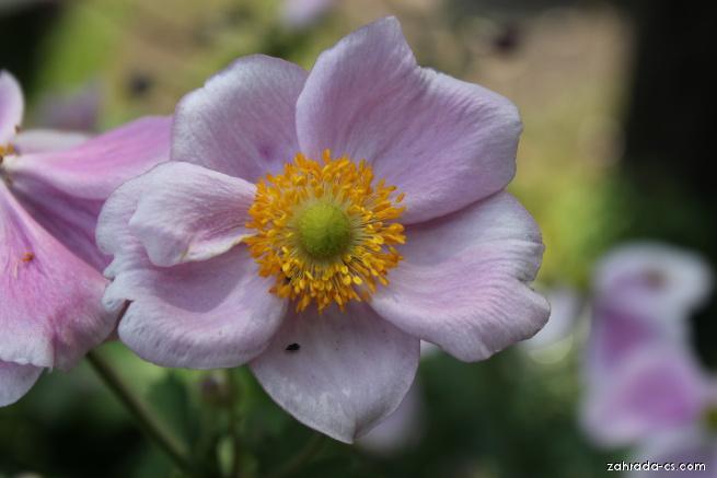 Sasanka Praecox (Anemone hupehensis)