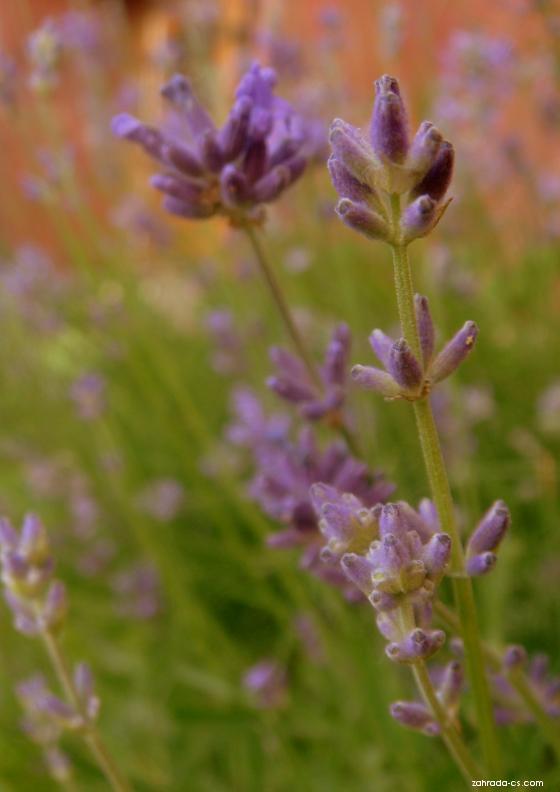 Levandule lékařská (Lavandula angustifolia)