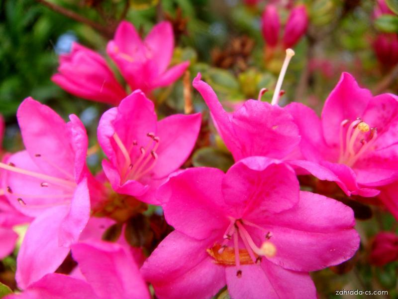 Azalka japonská (Azalea japonica)