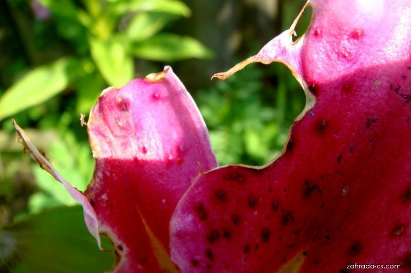 Chřestovníček liliový - lilie (Crioceris lilii)