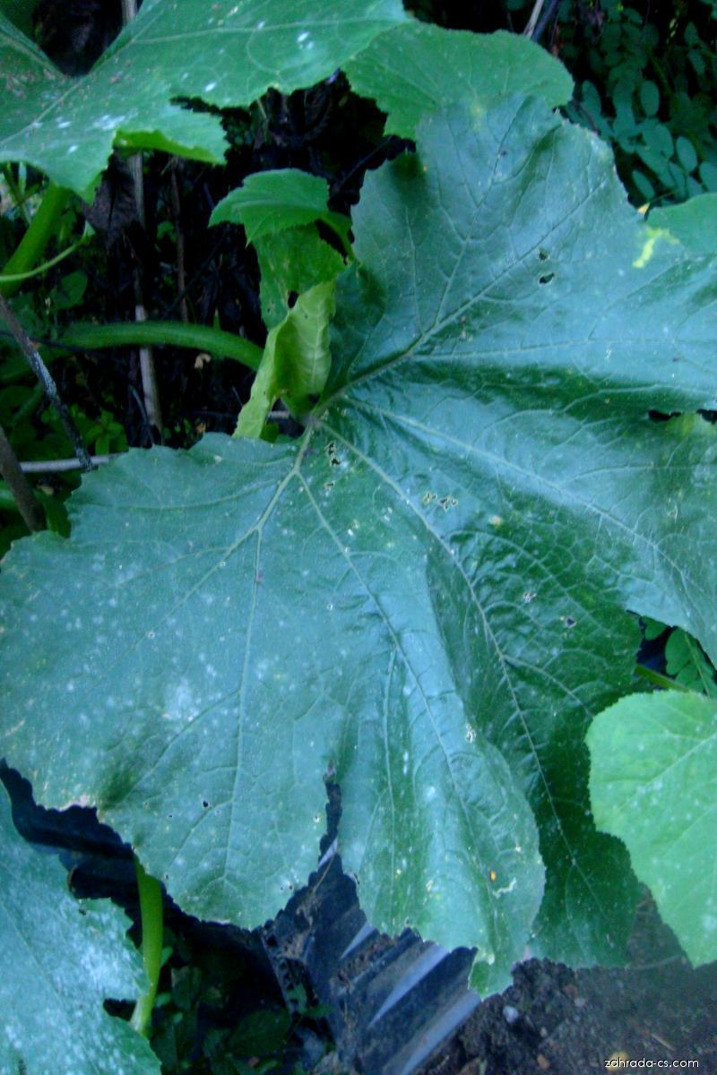 Tykev obecná - cuketa (Cucurbita pepo)