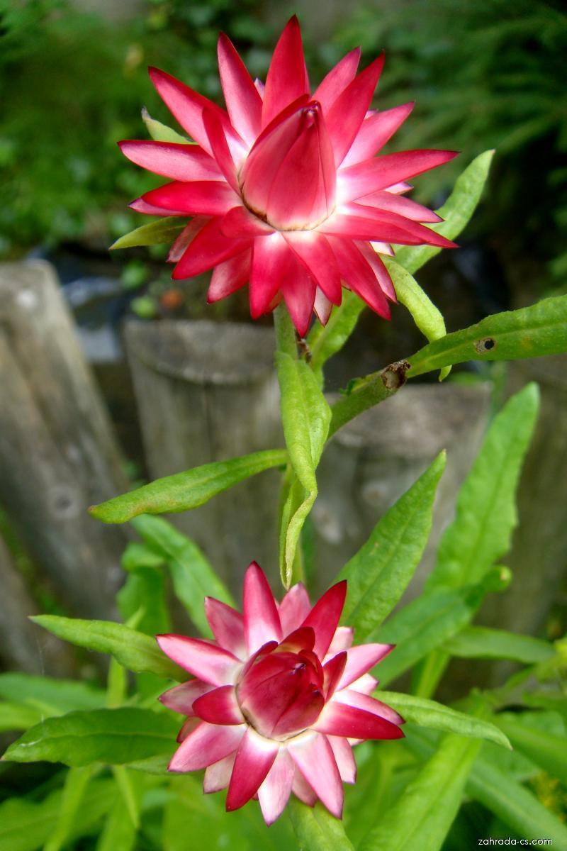 Smil listenatý (Xerochrysum bracteatum)