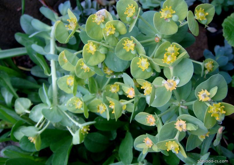 Pryšec myrtovitý - květ (Euphorbia myrsinites)