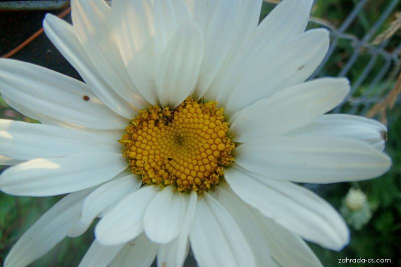 Kopretina - Leucanthemum x superbum