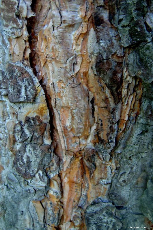 Borovice -kůra (Pinus)