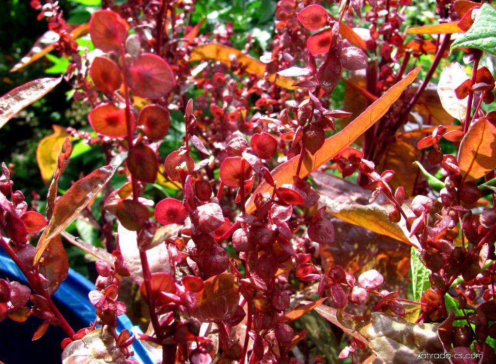 Lebeda zahradní Rubra (Atriplex hortensis)