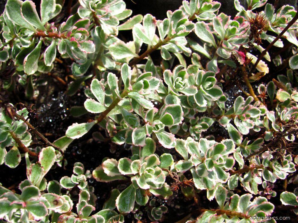 Rozchodník pochybný Tricolore (Sedum spurium)